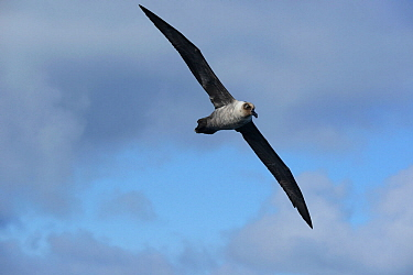 Light Mantled Sooty albatross (Phoebetria palpebrata) over sea, south of Campbell Island.  Subantarctic New Zealand.