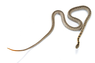 Mopane snake (Hemirhagerrhis nototaenia), from the Greater Gorongosa Ecosystem, Mozambique. Here, the snake shows its defensive tail display -- the contrastingly colored orange tail is held up to dist...