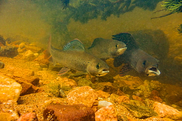 Arctic grayling (Thymallus arcticus) together in the swift current of a spawning stream.  They will feed when the current brings food to them.  The male on the right has a deformed mouth from a fisher...