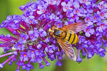 Wasp-mimic hoverfly   (Volucella inanis) feeding on buddleia   Lewisham, London, England, UK, August.