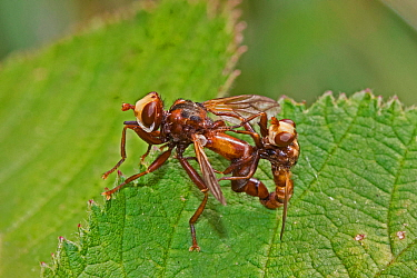 Thick-headed flies (Sicus ferrugineus)  mating pair, Brockley Cemetery, Lewisham, London, England, UK, July.