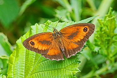Gatekeeper butterfly  (Pyronia tithonus) male animal, Brockley Cemetery, Lewisham, London, England, UK, July.