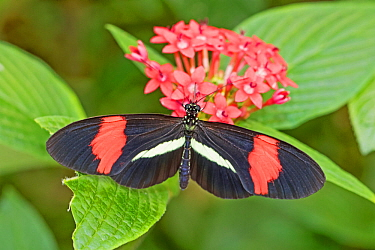 Red or Small postman (Heliconius erato) feeding on milkweed, Central and South America.