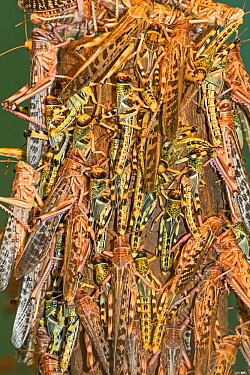 Desert Locusts  (Schistocerca gregaria) congregating on a post. Captive, occurs in Africa and Asia.