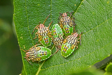 Parent shieldbugs  (Elasmucha grisea)  nymphs,  Sutcliffe Park Nature Reserve, Eltham, London, England, UK.  August 2017