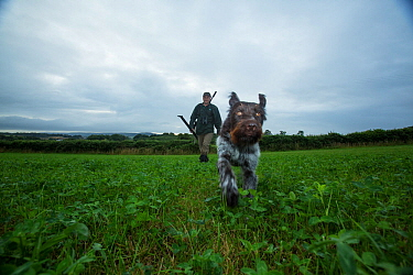 Estate ranger out with gun and dog to control Roe deer (Capreolus capreolus) populations to a  level where their browsing does not prevent native woodland tree species from regenerating, Devon, Englan...