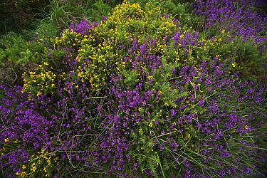 Heather (Erica cinerea), Gorse (Ulex europaeus) and purple moor grass (Molina caerulea), East Devon Pebblebed Heathland, Devon, England, UK, July.