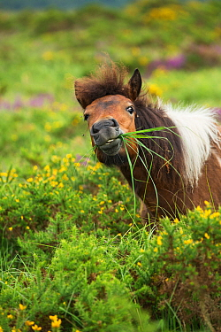 Dartmoor pony browsing on purple moor grass (Molinia caerulea) East Devon Pebblebed Heaths, Devon, UK, July 2016.