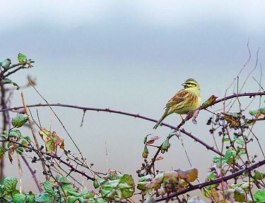 Cirl bunting (Emberiza cirlus) perched in bramble, East Devon. Populations of this species are dependent on traditional farming practices, including the maintenance of over-wntering stubble fields. De...