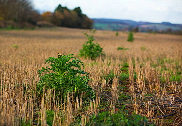 Winter field with stubble and weeds, East Devon, England, UK, November. Fields like this support farmland birds in winter providing a source of seed.