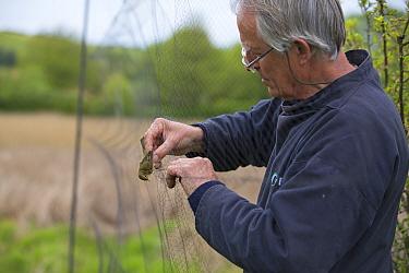 Bird ringer removing Dunnock (Prunella modularis) from mist nets in reedbeds on the Otter Estuary, Devon, England, UK. May.
