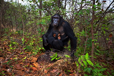 Eastern chimpanzee  (Pan troglodytes schweinfurtheii) female 'Glitter' aged 15 years with her sleeping daughter 'Gossamer' aged 16 months sitting on a rock.Gombe National Park, Tanzania.