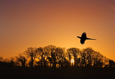 Pheasant (Phasianus colchicus) male flying to roost at sunset with trees silhouetted  in background England, UK. December.