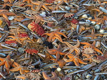 Large amounts of sea life including Common starfish (Asterias rubens) with Razor shells (Ensis) and Common sunstar (Crossaster papposus) washed up on the beach, Titchwell Beach, Norfolk, England, UK,...