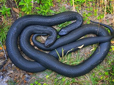 Tasmanian tiger snake (Notechis scutatus) two coiled together, highly venomous species. Tasmania, Australia.
