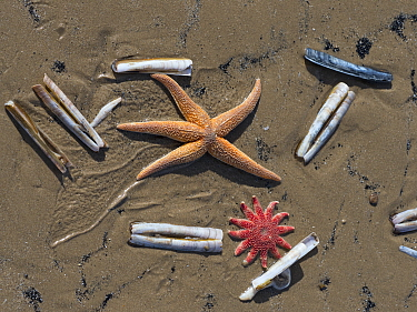 Common starfish (Asterias rubens) with Razor shell (Ensis sp.) and Common sunstar (Crossaster papposus) Titchwell Beach, Norfolk, England, UK, March.