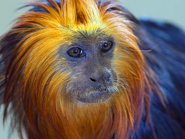 Golden-headed lion tamarin (Leontopithecus chrysomelas) captive, endemic to Brazil.