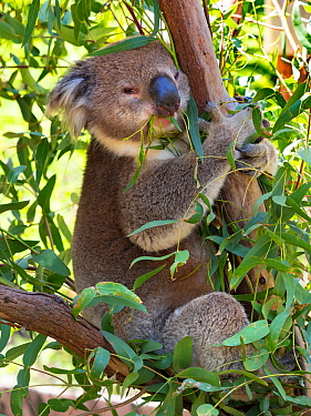 Koala (Phascolarctos cinereus) eating leaves, Melbourne, Victoria, Australia.
