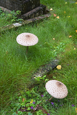 Parasol fungi (Macrolepiota procera) in old graveyard. Surrey, England, UK. August.