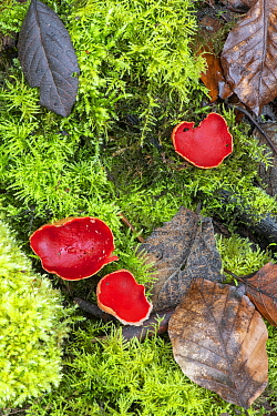Scarlet elf cup fungi (Sarcoscypha austriaca). Surrey, England, UK. April.