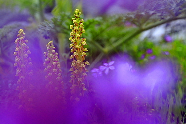 Man orchid (Orchis anthropophorum) Sierra de Grazalema Natural Park, southern Spain. April