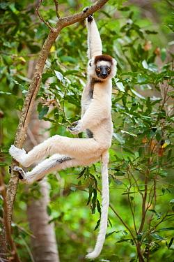 Verreaux's sifaka lemur (Propithecus verreauxi) hanging in relaxed posture from a branch in the canopy, Berenty Private Reserve, southern Madagascar.
