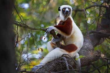 Coquerel's sifaka lemur (Propithecus verreauxi coquereli) adult resting in forest canopy, Anjajavy dry deciduous forest, north west Madagascar.