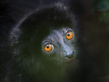 Milne-edward's sifaka lemur (Propithecus diadema edwardsi) infant head portrait, Ranomafana National Park, south east Madagascar.