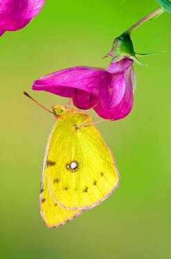 Clouded yellow butterfly (Colias crocea) On Wild sweet pea flower, Captive, UK, July