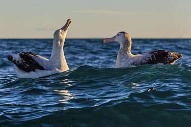 Gibson's Albatross / Toroa (Diomedea antipodensis gibsoni) or Kaikoura Coast, Kaikoura, South Island, New Zealand. January.