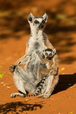 Ring-tailed Lemur (Lemur catta) mother and baby  Berenty, Madagascar. Photograph taken on location for BBC 'Wild Madagascar' Series, September 2009.