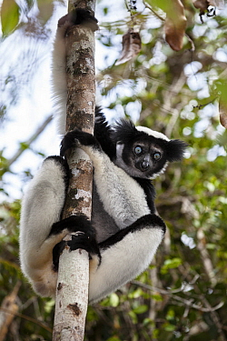 Indri (Indri indri) on rainforest tree, Andasibe Mantadia National Park, East-Madagascar, Africa
