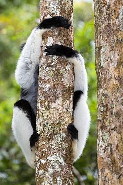 Indri (Indri indri) with legs wrapped around a rainforest tree, Andasibe Mantadia National Park, East-Madagascar, Africa