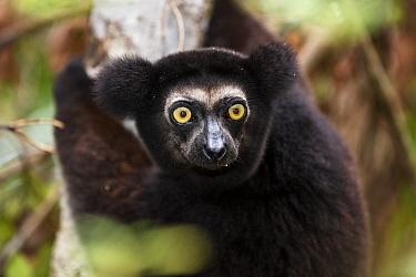 Indri (Indri indri) dark color variant, in rainforest, East-Madagascar, Africa, captive