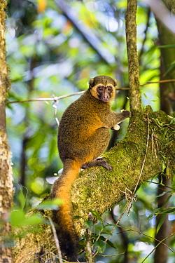 Golden Bamboo Lemur (Hapalemur aureus) male eating bamboo-shoot, rainforest of Ranomafana, Hapalemur aureus, Madagascar, Africa.