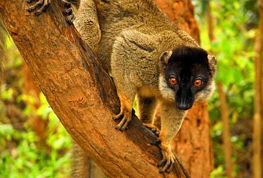 Common brown lemur (Eulemur fulvus) in tree, Andasibe-Mantadia National Park, Madagascar.