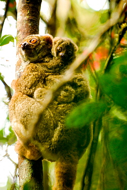 Eastern woolly lemur (Avahi laniger) with young, Andasibe-Mantadia National Park, Madagascar. Vulnerable species.