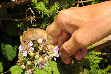 Captive-reared Harvest mouse (Micromys minutus) being released onto a Bramble bush (Rubus plicatus) on a heathland reserve, Kilkhampton Common, Cornwall, UK, June. Model released.