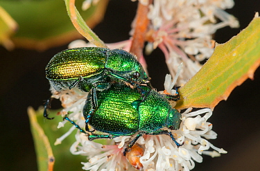 Green spring beetles (Diphucephala sp) about to mate on Hakea flower,  Lesueur National Park, Western Australia.