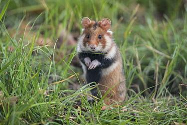 European hamster (Cricetus cricetus) standing in grass, Vienna, Austria. October.
