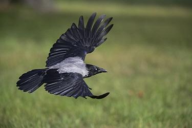 Hooded crow (Corvus cornix) flying low, Vienna, Austria. October.