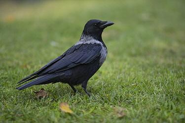 Hooded crow (Corvus cornix) standing on grass, Vienna, Austria. October.