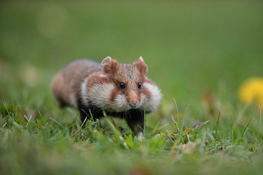 European Hamster (Cricetus cricetus), adult running with full cheek pouches, Vienna, Austria. October.