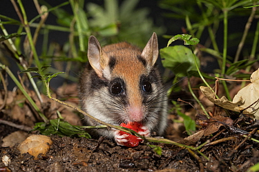 Garden Dormouse ( Eliomys quercinus) eating a strawberry, Germany. Captive. June.