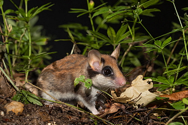 Garden dormouse (Eliomys quercinus), adult, on forest floor with  Woodruff (Galium odoratum), Germany. June.