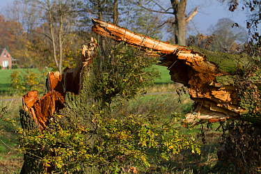 Oak tree (Quercus robur) with broken trunk, blown down during a storm , Lower Saxony, Germany. November 2017.