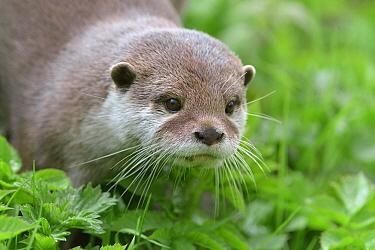 Asian small-clawed otter (Aonyx cinerea) young female, Edinburgh Zoo, Scotland, captive