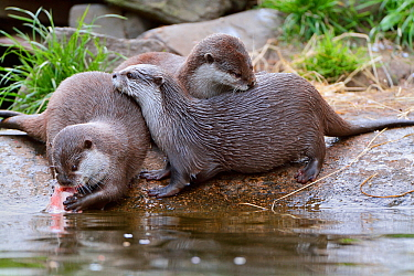 Asian small-clawed otter (Aonyx cinerea) two young females beside mother eating salmon, Edinburgh Zoo, Scotland, captive