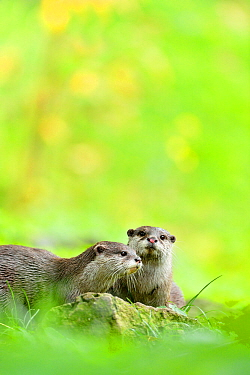 Asian small-clawed otter (Aonyx cinerea) two young females, Edinburgh Zoo, Scotland, captive