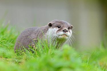 Asian small-clawed otter (Aonyx cinerea), young female, Edinburgh Zoo, Scotland, captive